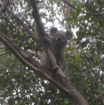 Koala next (not on) to the barbecue