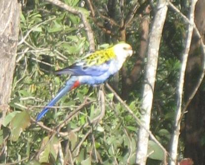 Pale Headed Rosella (nesting in garden)